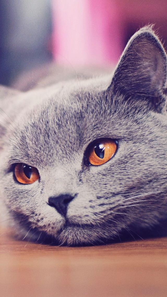 British Shorthair Cat Yellow Eyes Portrait iPhone 5 Wallpaper