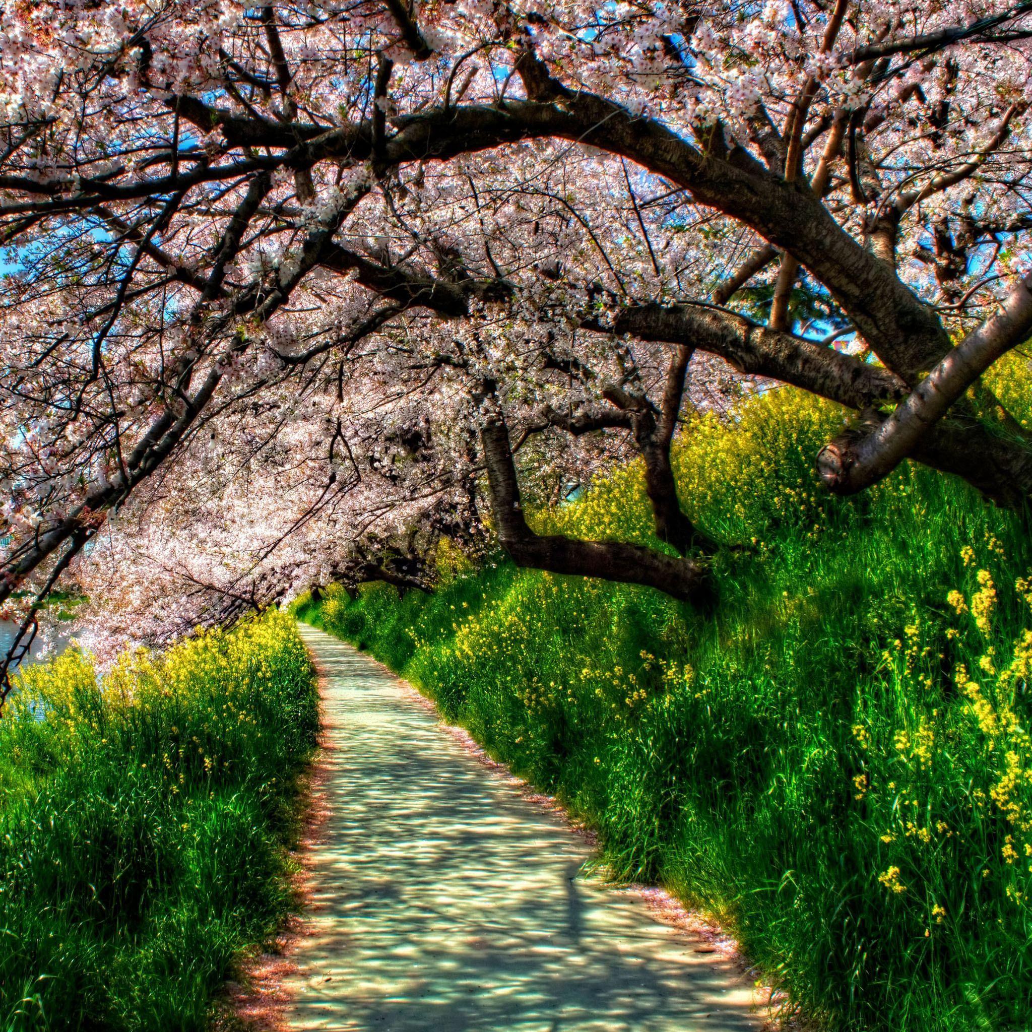 Cherry Blossom Alley iPad Wallpaper HD