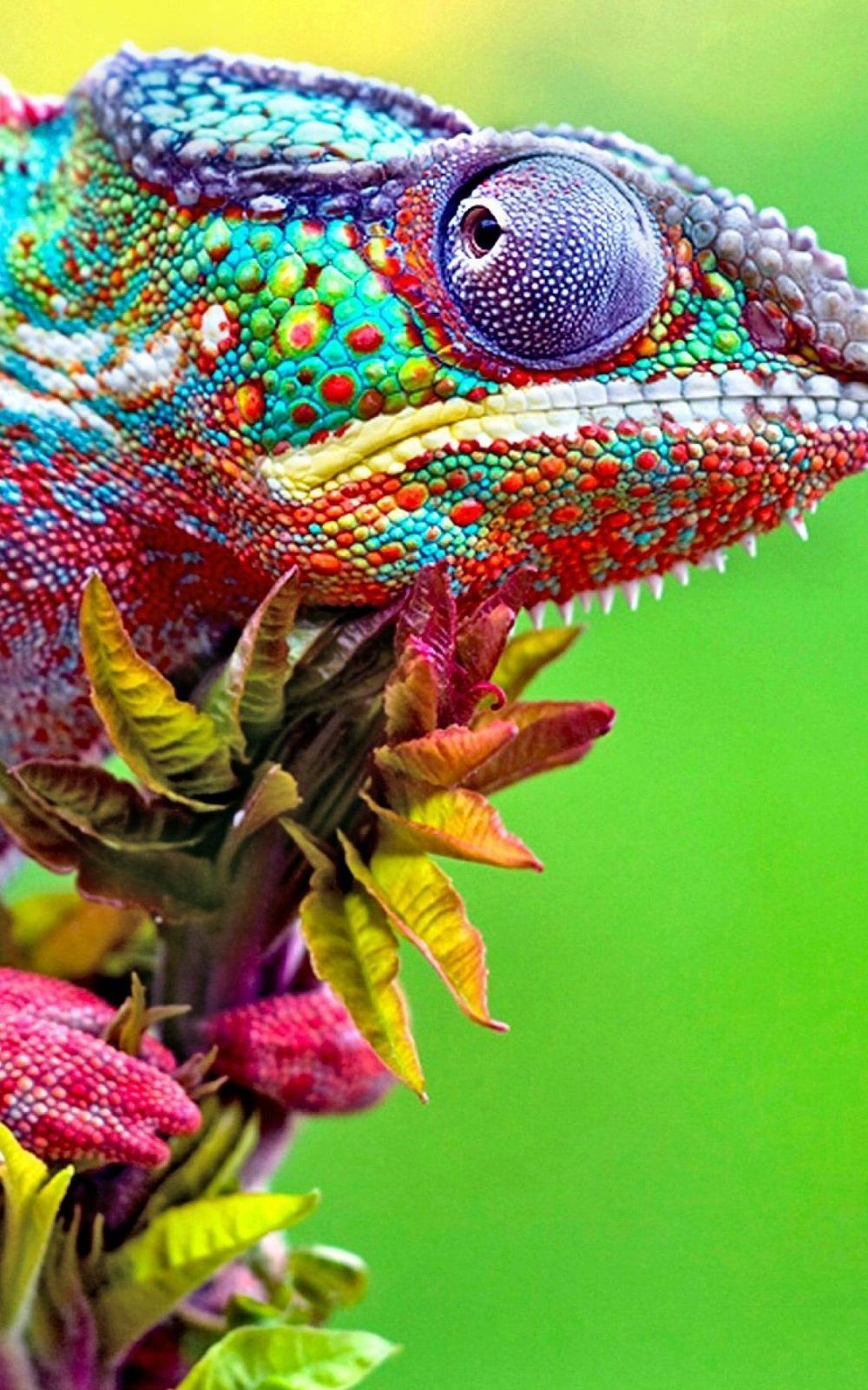 Colorful Chameleon Close Up iPhone 6 Plus HD Wallpaper