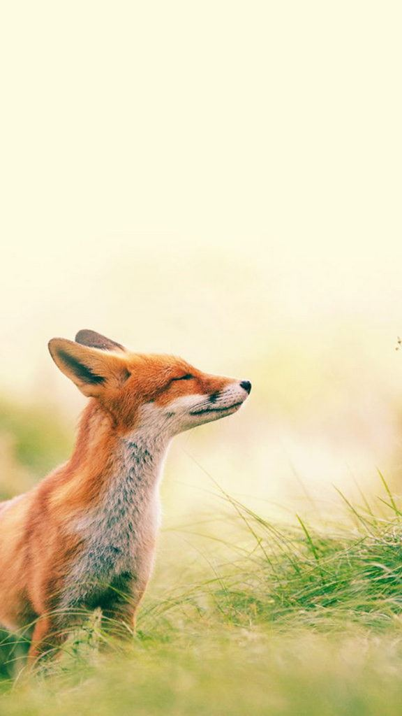 Fox Scenting Breeze iPhone 6 Wallpaper