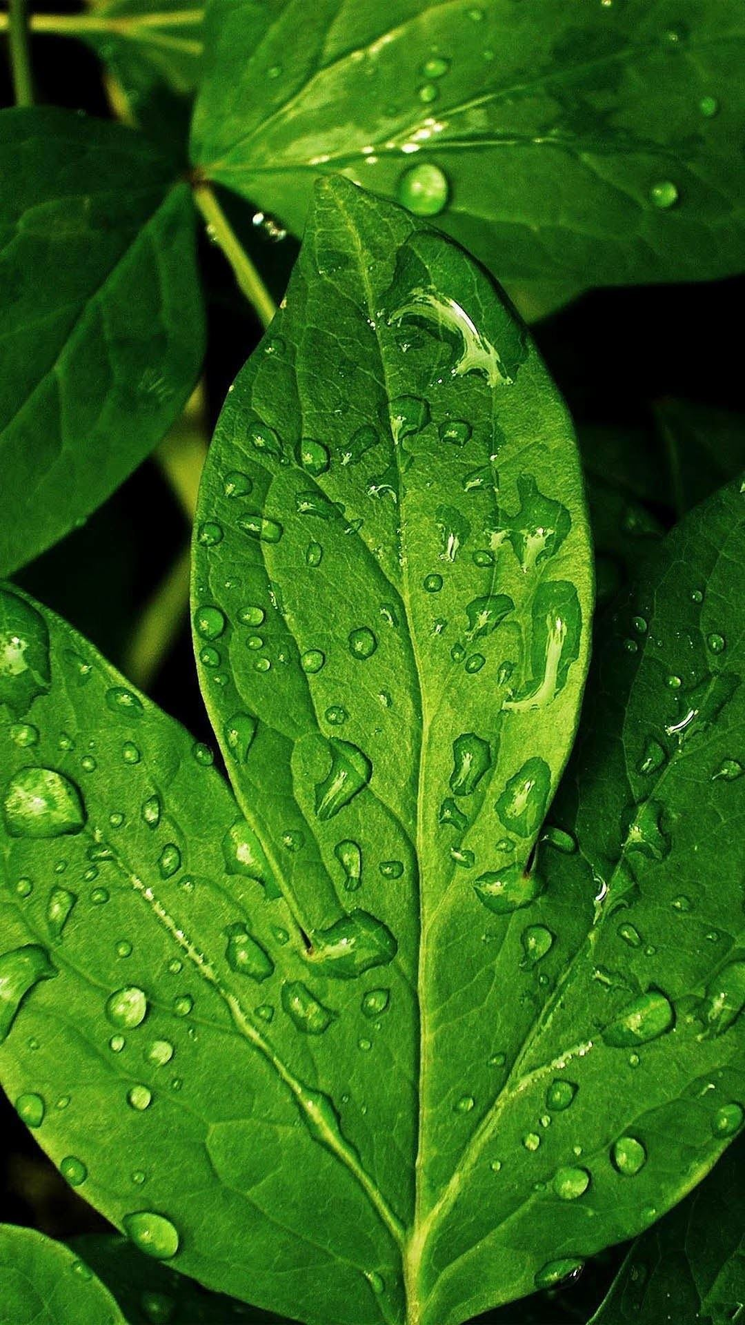Morning Dew Green Leaf iPhone 6 Plus HD Wallpaper