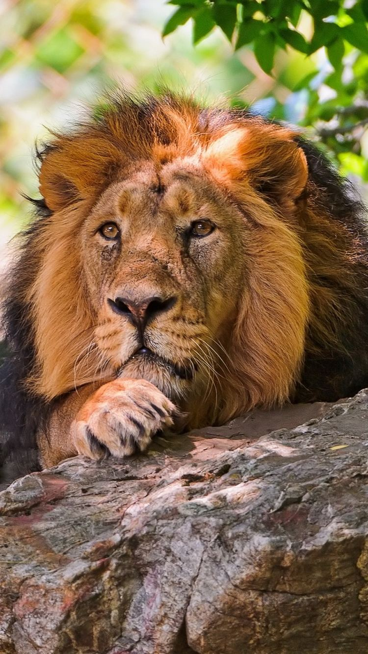 Preying Lion iPhone 6 Wallpaper